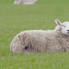 """Tu veux voir le meilleur film de cette année? Mate """"Baa Baa Land"""", 8 heures au pays des moutons, sans acteur, dialogue ou histoire!"""